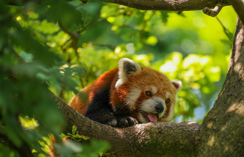 A red panda in a tree with his tongue out Animal Themes Animals In The Wild Branch Day Mammal Nature No People One Animal Outdoors Red Panda Tongue Tree