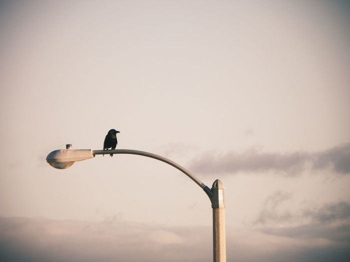 Low Angle View Of Raven Perching On Street Light Against Sky