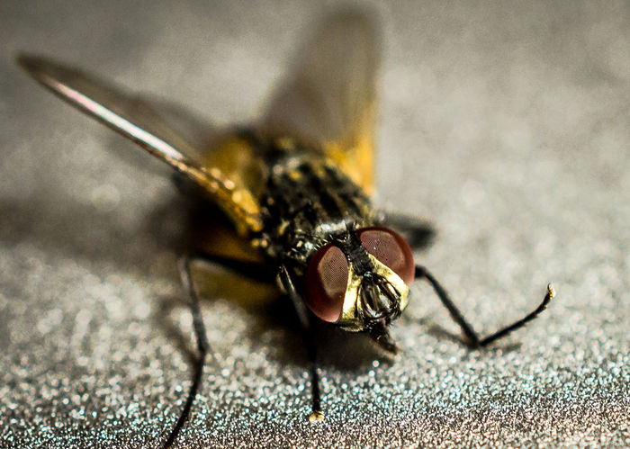 Abdominal Pain Animal Antenna Animal Body Part Animal Markings Animal Themes Beauty In Nature Close-up Day Detail Diarrohea Disease Transmitter Diseases Focus On Foreground House Fly Insect Macro Nature No People Outdoors Selective Focus Stale Food