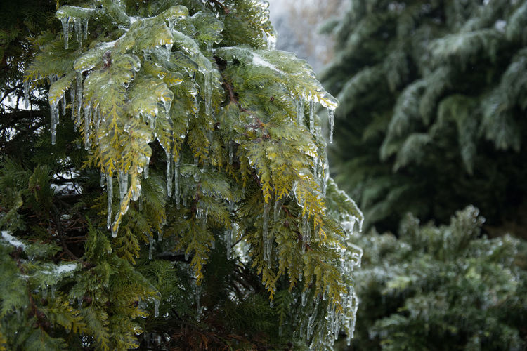 Plant Tree Green Color Close-up No People Beauty In Nature Thuya Cold Temperature Fir Tree Winter Frozen Ice Icicle Extreme Cold Weather Frost Ice Crystal Stalactite  Icy Branch Coniferous Tree Frozen Tree Extreme Conditions