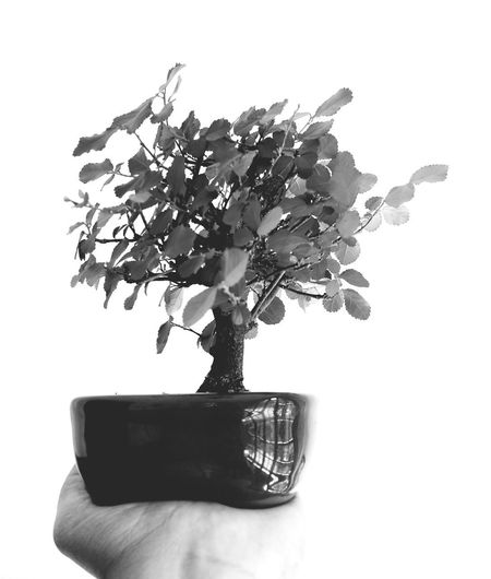 Bonsai da felicidade Bonsai Collection Bonsai Mini  Flôr De Lótus Japanese Style Floriculture Cultivando Mini árvores Mini Plants Blackandwhite Photography Green Teraphy Teraphy Lottus Bonsai Potery Eyeem Market Tree White Background Branch Leaf Close-up Plant Bonsai Tree Plant Life Single Tree Petal Cultivated