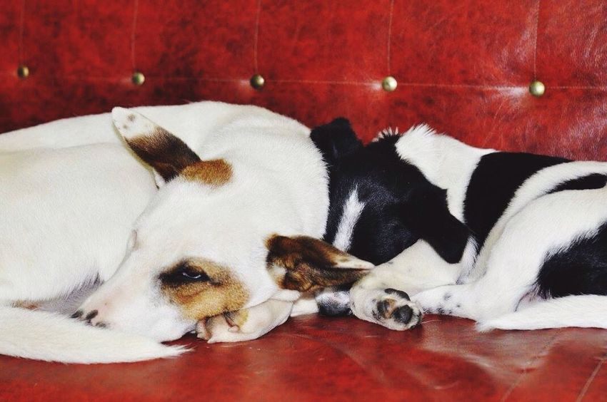 Pets Dog Dogs Of EyeEm Dogslife Domestic Animals Relaxation Lying Down No People
