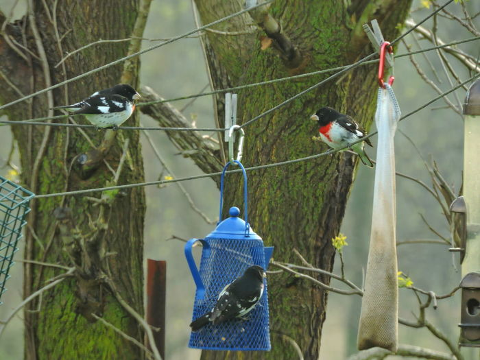 Rose Breasted Grosbeak Vertebrate Bird Animal Themes Animal Animal Wildlife Animals In The Wild Perching Plant Tree Group Of Animals Day No People Branch Two Animals Nature Outdoors Focus On Foreground Bird Feeder Hanging