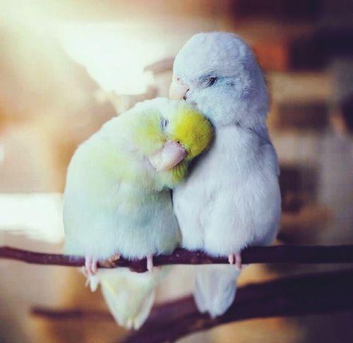 Bird Parrot Budgerigar Parakeet Pets Animal Kissing