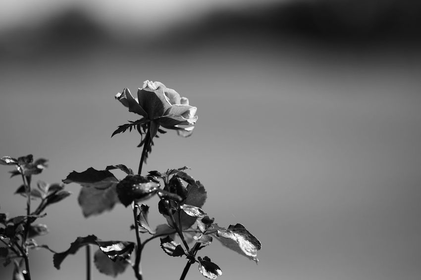 Capture The Moment Shine Bright Monochrome Flower Fragility Nature Rosé Beauty In Nature Close-up Growth Flower Head Day Depth Of Field Freshness Getting Inspired Fine Art Photography Selective Focus Uzuki Of The Flower Tranquility Full Frame Detail Sony A7RII Sigma EyeEm Best Shots 17_10 EyeEmNewHere Black And White Friday