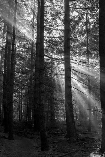 Celebrating the morning in the forests of The Veluwe, The Netherlands - Sunlight shining from behind a tree Beauty In Nature Black & White Black And White Blackandwhite Blackandwhite Photography Forest Forest Photography Forestwalk Light Light And Shadow Morning Morning Light Nature Nature Nature Photography Nature_collection Naturelovers Tree Tree Trees
