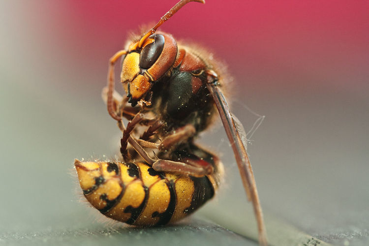 Close-Up Of Honey Bee On Wood