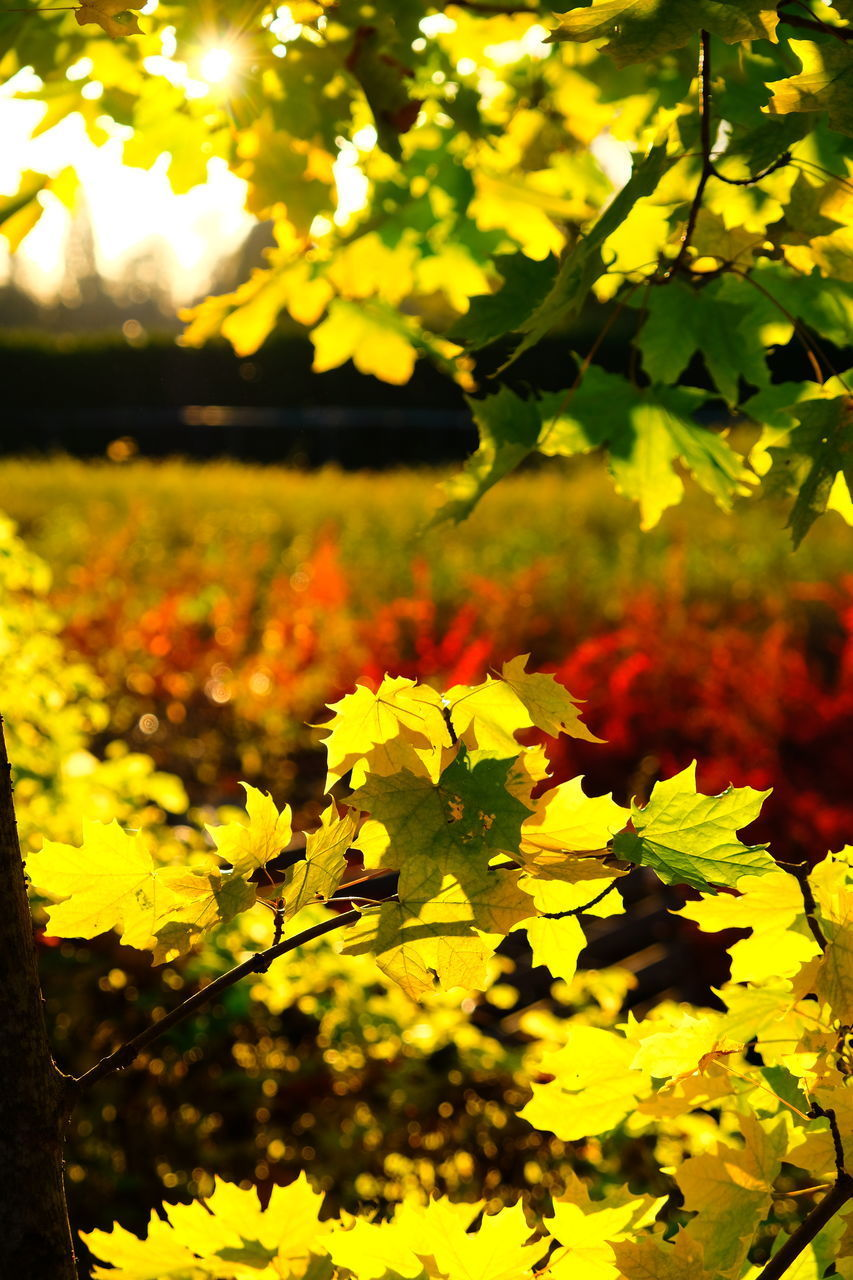 plant, growth, yellow, nature, beauty in nature, no people, close-up, focus on foreground, leaf, plant part, day, tranquility, outdoors, sunlight, flower, selective focus, field, tree, flowering plant, vulnerability