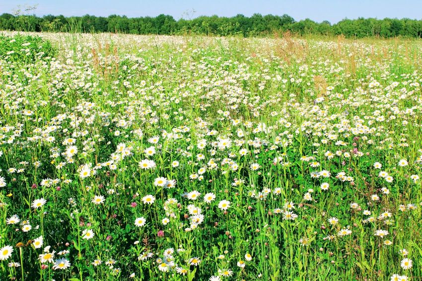Agriculture Beauty In Nature Camomile Camomiles Chamomile Chamomile Field Day Field Flower Freshness Green Color Growth Landscape Nature No People Outdoors Plant Rural Scene Scenics Tranquil Scene Tranquility Tree