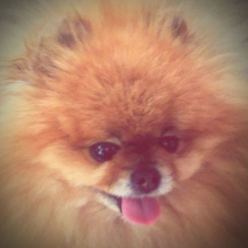 Happy dog :D Pomeranian Dog❤ Smile :) Puffy Hair :P Hugs 🐕