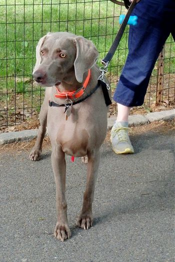 "Very confused to see the ""statue"" move, as it turned out she was a mime. Weimaraner Weimaranerlove Weim Disbelieve Startled"