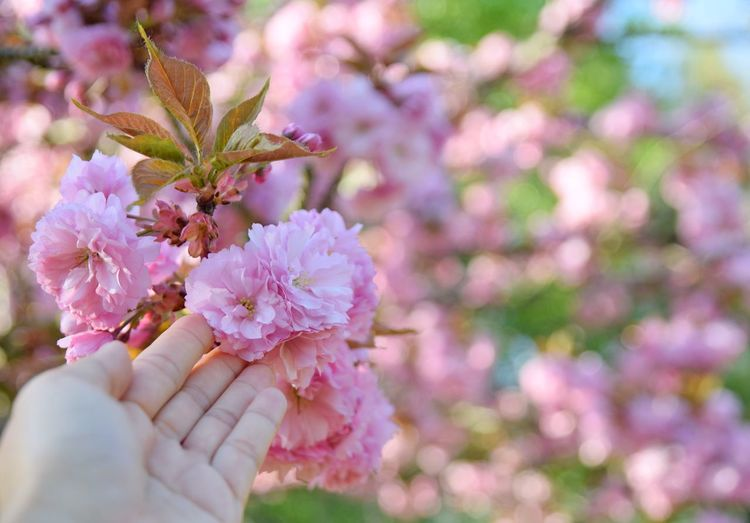 cherry blossom in hand, spring time Hand Natural Colorful Beautiful Outdoors Season  Change Pink Color Touch In Hand Lifestyles Human Hand Flower Flower Head Springtime Pink Color Tree Blossom Close-up Cherry Blossom Cherry Tree Flower Tree Cherry Blooming Pollen Fruit Tree Branch Plant Life In Bloom Stamen