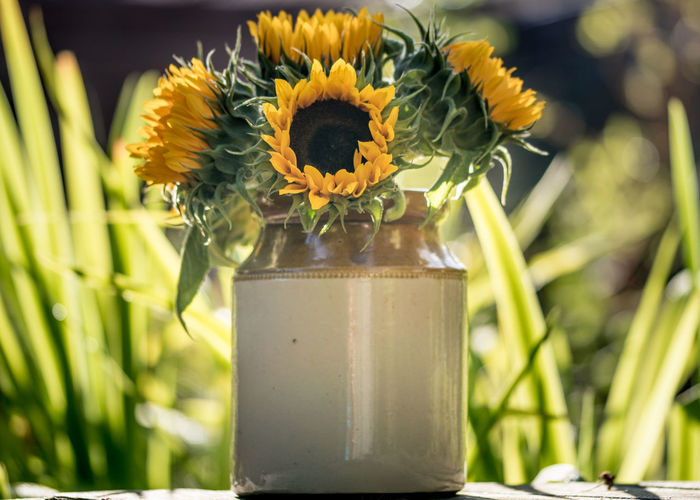 Sunflower Beauty In Nature Close-up Day Earthenware Flower Flower Arrangement Flower Head Flowering Plant Focus On Foreground Fragility Freshness Green Color Growth Inflorescence Nature No People Outdoors Petal Plant Sunflower Sunflowers Vase Vulnerability  Yellow
