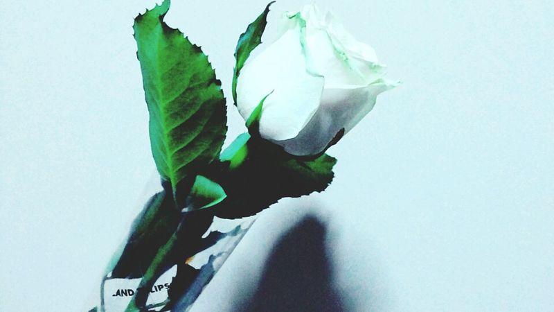From Holland Tulips White Rose Flower Flower Porn Long Stem Love