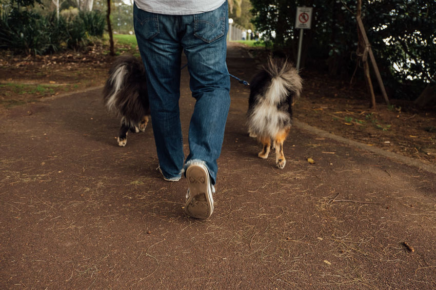 Finnish Lapphund dogs on a walk. Animal Themes Casual Clothing Day Dock Dog Domestic Animals Finnish Lapphund Fluffy Health Landscape Leash Low Section Mammal Man Motion One Animal One Person Outdoors Park People Pet Pets Real People Walk Walking