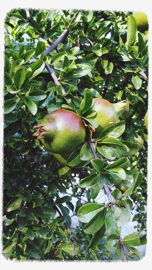 Granadas en Aranjuez(Madrid) Taking Photos Natualeza Frutas Y Verduras Arboles