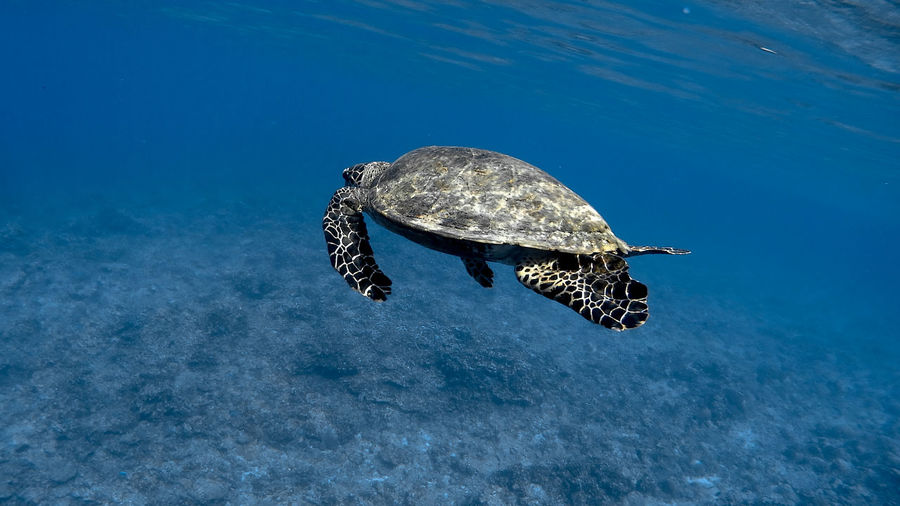 Hawksbill sea turtle at apo reef coral garden