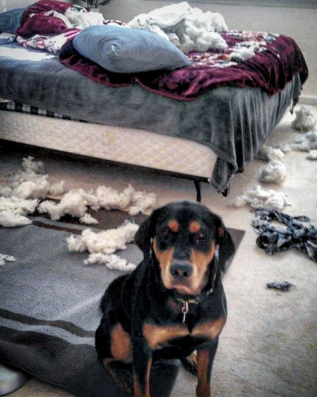 Guilty! Love this boy! Dog Dogs Of EyeEmRottweiler Hound Rott Hound Mix Rescue Dog Guilty What Pillow It Wasnt Me It Was Me.... Whoops Jim