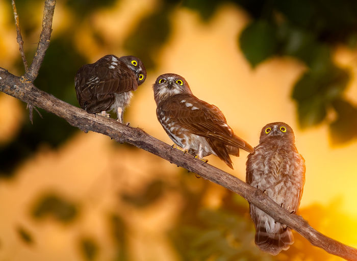 Baby hawk owls 43 Golden Moments Animal Themes Bird Birds Branch Close-up Hawk Hawk Owl Nature No People Outdoors Owl Showcase July Sunset The Great Outdoors - 2016 EyeEm Awards Wildlife