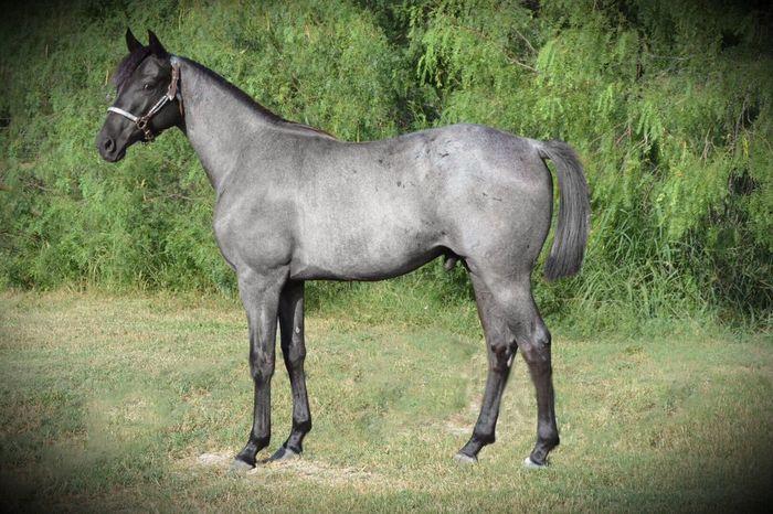 Equine Horse Blue Roan Horse Portrait