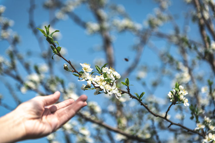 Plum Twig Branch Tree Flying Bee White Outdoors Natural Green Blue Spring Springtime Copy Space Human Limb Finger Day Growth Nature Beauty In Nature One Person Fragility Freshness Human Body Part Hand Plant Human Hand Flowering Plant Flower Focus On Foreground Sunlight Real People Low Angle View Holding Body Part