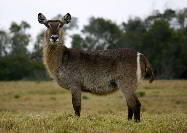 Portrait of waterbuck standing on field
