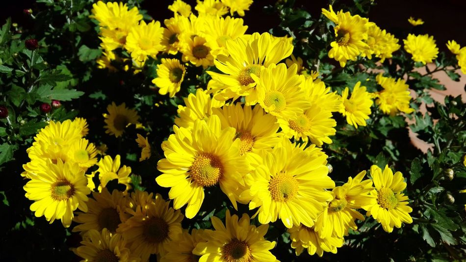 Flowers Bright Yellow Petals Gardening Outdoors Dark Green Leaves Sun Kissed