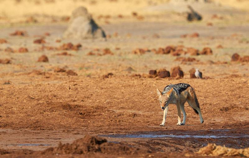 Jackal walking on field
