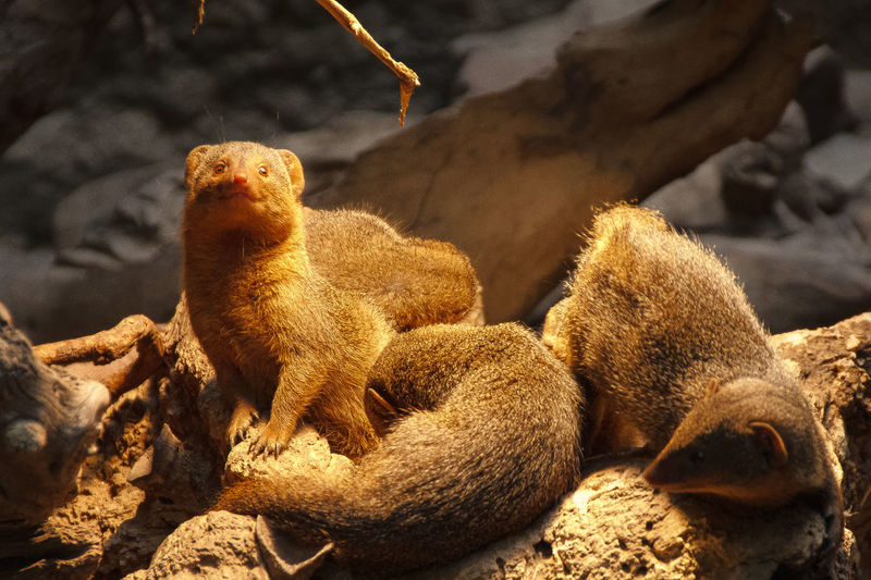 High Angle View Of Mongooses On Rock At Zoo