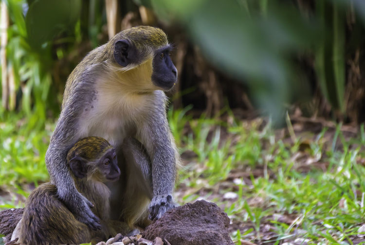 he is safe with his mother Animals In The Wild Animal Wildlife Animal Themes Mammal Group Of Animals Nature Monkey Vertebrate Primate Sitting Focus On Foreground Two Animals Plant Land Tree No People Animal Animal Family Young Animal Day Looking Care