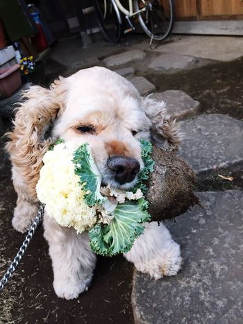He stole my grand mother's flower. Americancockerspaniel Ilovemydog My Dog Is Cooler Than Your Kid. Thief