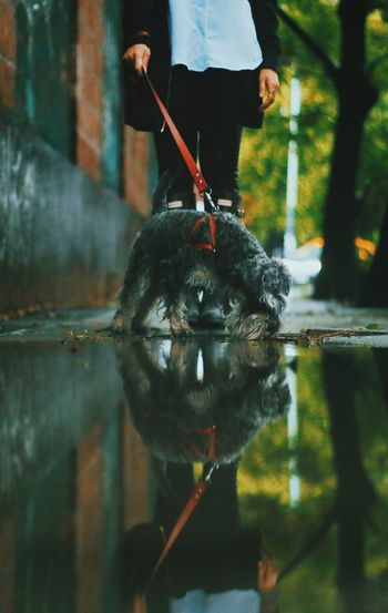 Low section of woman with dog reflecting on puddle