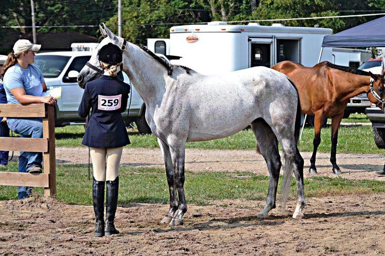 BAE. Arabian Horse Grey Bae  Maggie