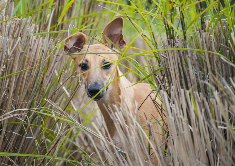 Portrait of greyhound in tall grass