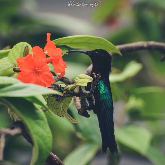 Urbanvybz Nikonphotography TheWeekOnEyeEM NIKON D5300 Photography Hello World Beautiful Caribbean Fwi Flower Fleur Westindies_pictures Nature 971 Gwada  Guadeloupe Laguadeloupe Hummingbird Caribbean Life Antilles
