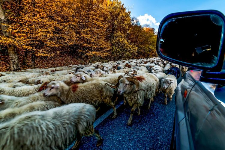 Flock of sheep against sky