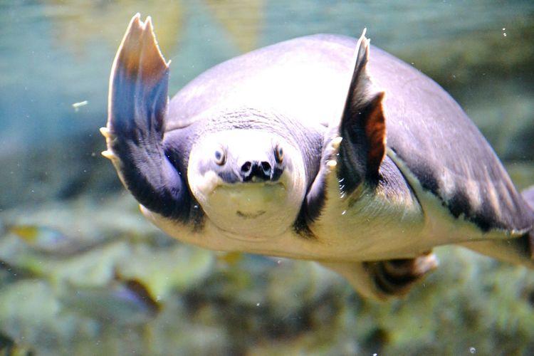 Close-up of leatherback turtle swimming in aquarium