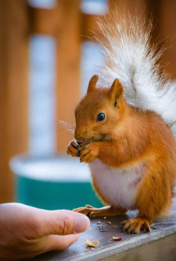 Squirrel Mammal Hand Human Hand Food One Animal Food And Drink Eating Holding One Person Animal Wildlife Human Body Part Close-up Feeding  Focus On Foreground Cute