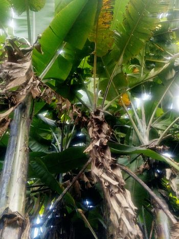 banana tree |from the jungle series 2015 BananaLeaf Close-up Day Frogperspective Green Color Jungle Mess Nature No People Palmtree Protection Sumatra  Tree