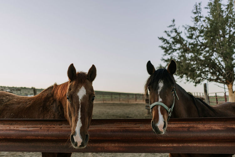 Horse Horses Arizona Farm Farm Life Sunrise Nature Tranquility Domestic Domestic Animals Mammal Livestock Animal Themes Animal Pets Working Animal Day No People Ranch Animal Head  Group Of Animals Focus On Foreground Sky Two Animals