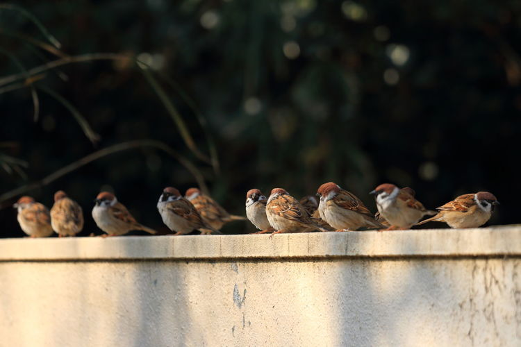 Sparrows sitting retaining wall