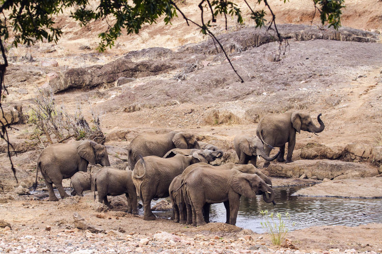 View of elephant drinking water in kruger national park