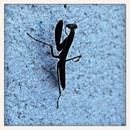 Una Mantis negra!!!! ?? Animaladas