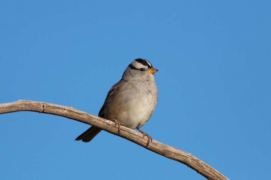 White-crowned sparrow One Animal Bird Perching Animals In The Wild Animal Wildlife Clear Sky Blue Animal Themes No People Outdoors Day Nature Nature Utah Sparrow Sparrow Bird Sparrow On A Branch White-crowned Sparrow White Crowned Sparrow Birds Bird Photography Cute Animals Fine Art