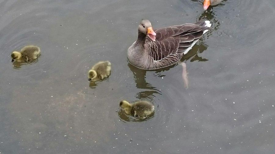 Family Outing Bird Photography Birds Birds_collection Nature Photography Nature_collection Water_collection Lake Cute Geese Greylaggoose