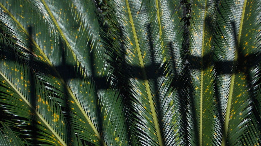 Leaf Palm Tree Plant Growth Green Color Palm Leaf Tropical Climate Plant Part Tree Nature No People Beauty In Nature Day Frond Close-up Outdoors Full Frame Date Palm Tree Environment Backgrounds Tropical Tree Coconut Palm Tree Rainforest