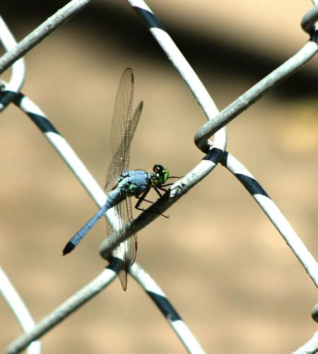 Popular Photos Nature Photography Nature Photography Dragonfly Insects  Bugslife Wings Fences Eyeemphoto Bluehues