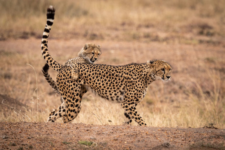 Acinonyx Jubatus Cheetah Kenya Kicheche Nature Travel Africa Animal Animal Themes Animal Wildlife Animals Hunting Animals In The Wild Big Cat Cat Cheetah Feline Hunting Mammal Nature No People One Animal Safari Spotted Survival Undomesticated Cat Vertebrate Wildlife
