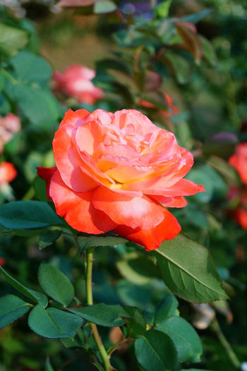 EyeEmNewHere Beauty In Nature Blooming Close-up Day Flower Flower Head Focus On Foreground Fragility Freshness Green Color Growth Leaf Nature No People Outdoors Petal Plant Rose - Flower Rosy