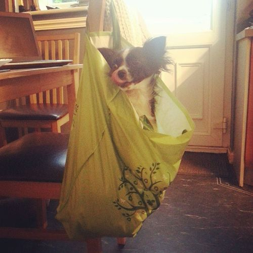 Doggy Woof Whereami Pooch Instadog Chihuahua Cute Instapet Whyamiinabag